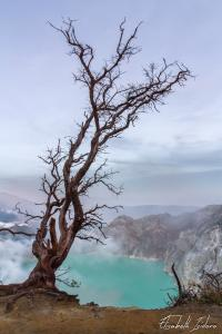 Kawah Ijen Tree